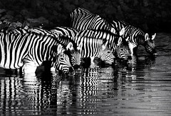 Zebras at Okaukuejo Waterhole, Etosha National Park, Namibia