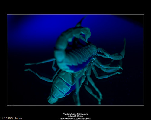 The Deadly Fat-tail Scorpion