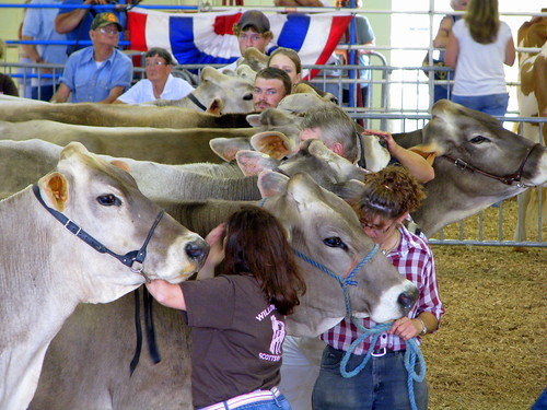 100 Things to see at the fair #66: Show cows