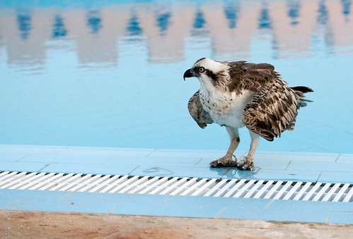 Eagle @ pool