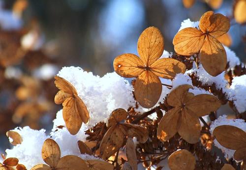 ohio cleveland hydrangea kirtland holdenarboretum lanterncourt treehugger007 hydrangeacultivar sterilefloret theforlornfloret