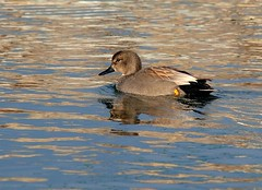 Gadwall - Photo (c) Luciano Giussani, some rights reserved (CC BY-NC-SA)