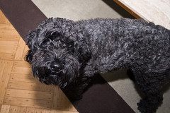 miniature poodle, dog breed, animal, dog, schnoodle, pet, mammal, poodle crossbreed, black russian terrier, bouvier des flandres, portuguese water dog, barbet,