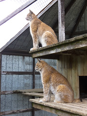 Bobcat Guard Tower