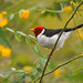 Yellow-billed Cardinal - Photo (c) Cláudio Dias Timm, some rights reserved (CC BY-NC-SA)