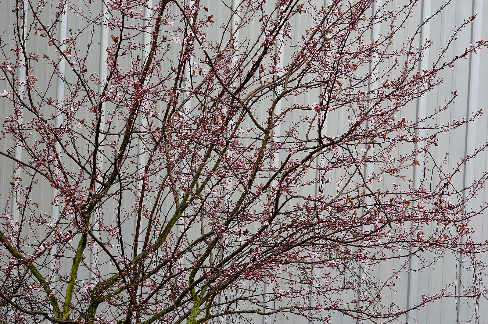 梅花 - 早春