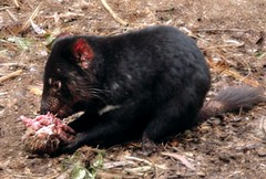 american black bear(0.0), mink(0.0), animal(1.0), tasmanian devil(1.0), mammal(1.0), fauna(1.0), viverridae(1.0), wildlife(1.0),