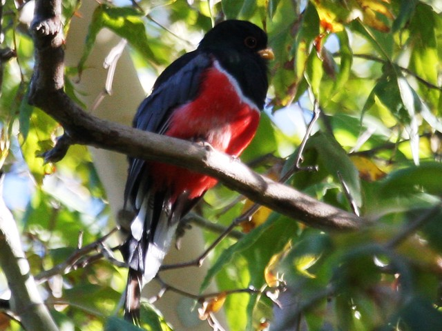 Elegant Trogon - Sept 1st 2008 - Huachuca Mountains