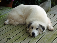 dog breed, animal, dog, pet, maremma sheepdog, mammal, golden retriever, great pyrenees,