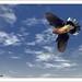 Dove (Streptopelia senegalensis) - In Flight by Umang Dutt