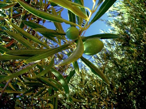 Aceitunas en olivos de Jaen