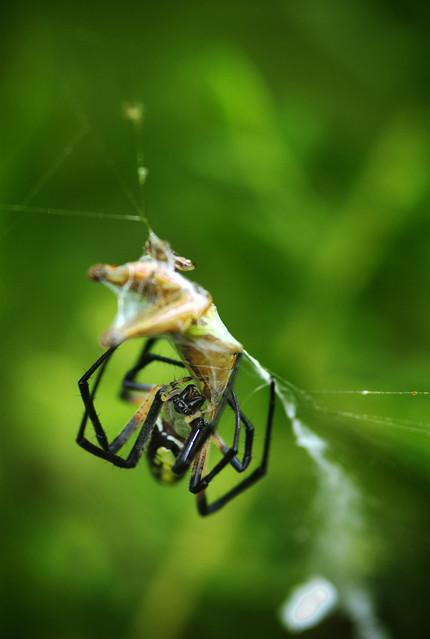 Black And Yellow Garden Spider Bites Grasshopper Flickr