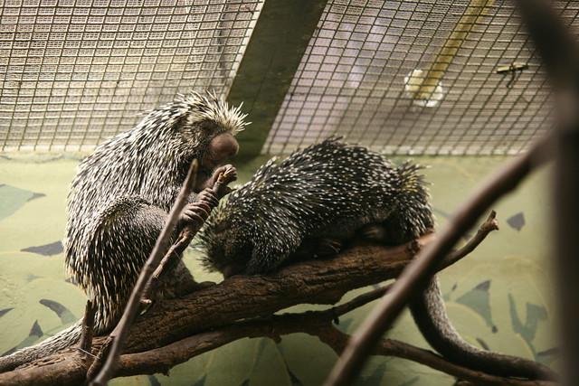 Prehensile-tailed Porcupine (Coendou prehensilis)