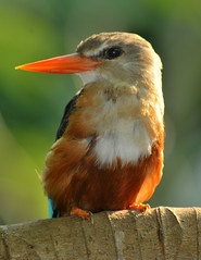 Kingfisher with electric beak