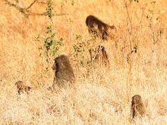Yellow Baboon Troop