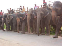 cattle-like mammal(0.0), animal(1.0), indian elephant(1.0), elephant(1.0), elephants and mammoths(1.0), herd(1.0), fauna(1.0), mahout(1.0), safari(1.0),