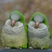 Pair of Quaker Parrots