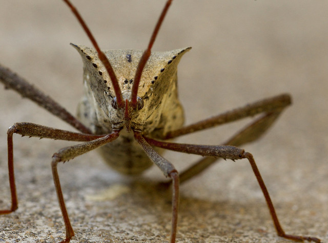 Stink Bug Portrait