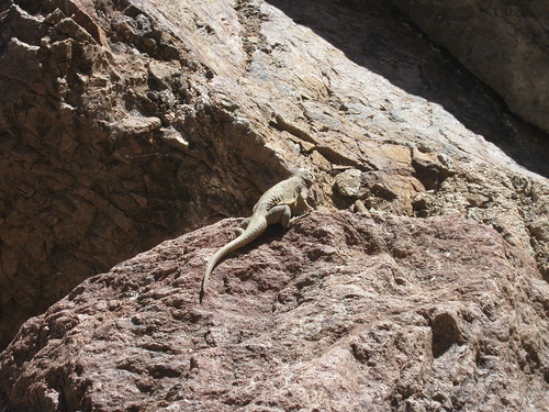 <p>Giant lizard! Encountered on our walk up Goldstrike Canyon.</p>