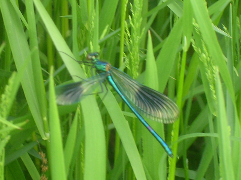 Banded Agrion Damselfly male Hever to Leigh