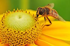 Biene im Pollenrausch
