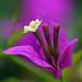 Bougainvillea Macro by janruss