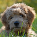 This is Ellis...He is one of Cupcake and Chewy's mini goldendoodle puppies !
