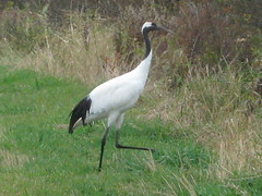 ibis(0.0), animal(1.0), fauna(1.0), ciconiiformes(1.0), white stork(1.0), beak(1.0), crane-like bird(1.0), crane(1.0), bird(1.0), wildlife(1.0),