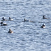 Plethora of Buffleheads