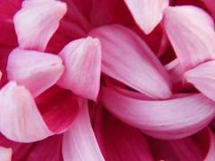 Pink - Giant chrysanthemum