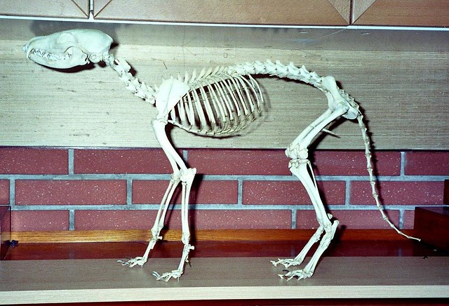Squelette De Renard Roux    Red Fox Skeleton  Vulpes Vulpes U2026