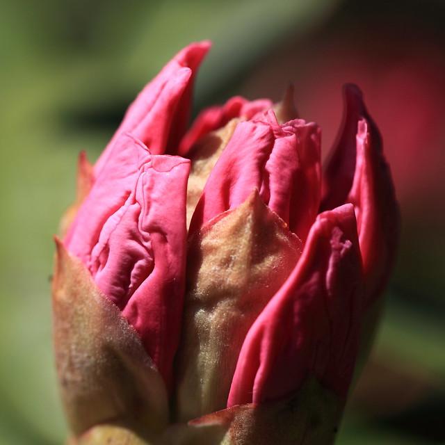 Photo:Buds of Hymenanthes / 石楠花(シャクナゲ)の蕾(つぼみ) By TANAKA Juuyoh (田中十洋)