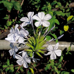 Plumbago auriculata What is this?