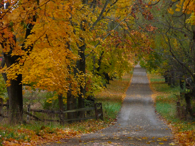 Picket fence and yellow trees
