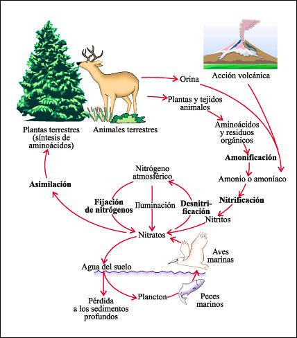 Ciclo del Oxigeno: Ciclo Biogeoquímico del Oxígeno