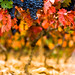 Fall Vines by Ryan Opaz