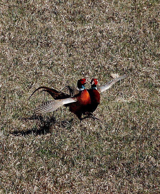 Pheasants Fighting0007