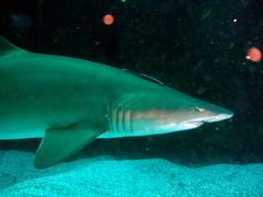 animal, fish, great white shark, shark, marine biology, underwater, carcharhiniformes, reef, requiem shark, tiger shark,