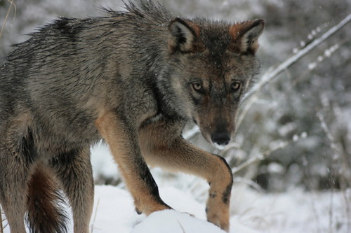 European Wolf by Luperca