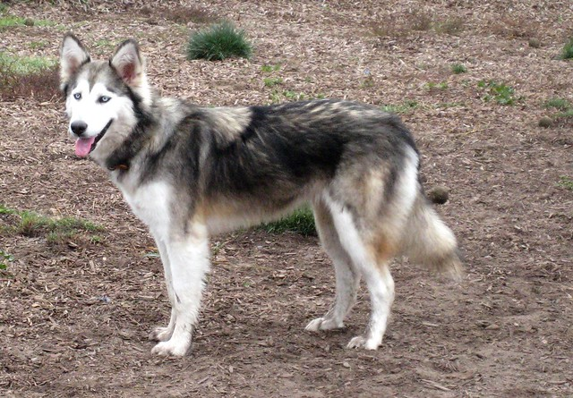 the half huskey The siberian husky (russian: сибирский хаски, lit: sibirskiy haski) is a medium size working dog breed that originated in northeast asia the breed belongs to the spitz genetic family with proper training, they make great home pets and sled dogs [2.