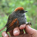 Azara's Spinetail - Photo (c) Fabrice Schmitt, some rights reserved (CC BY)