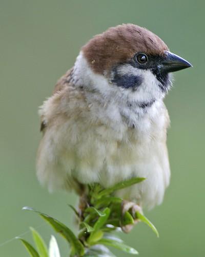 Eurasian Tree Sparrow - immature (Passer montanus malaccensis)