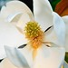 Magnolia - Photo (c) Kevin Eddy, some rights reserved (CC BY-NC-ND)