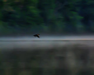 Kingfisher skimming the fog