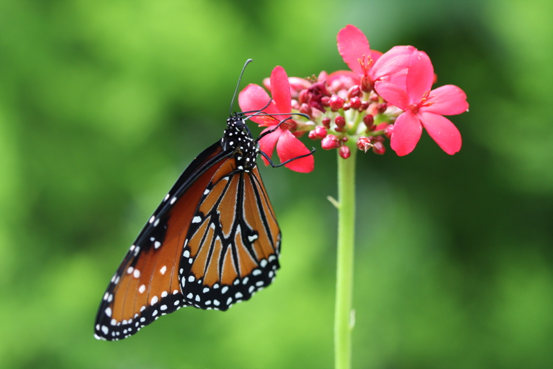 Butterfly at brookside gardens flickr photo sharing - Monarch Butterfly Brookside Gardens Wheaton Md By