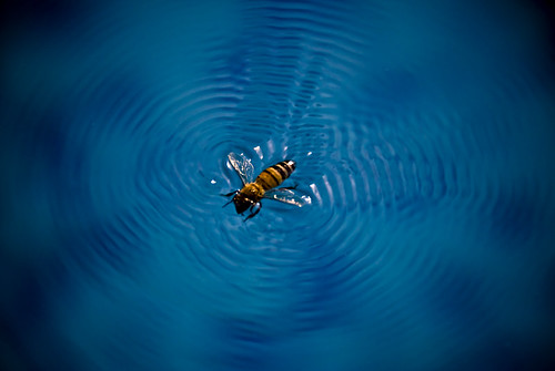Honeybee swimming