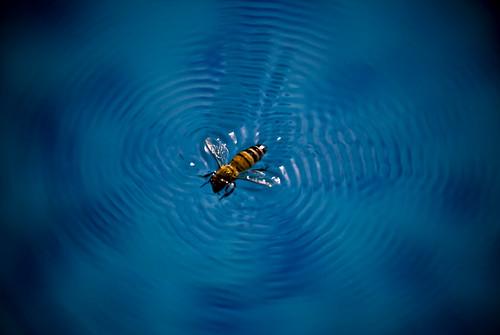 Honeybee swimming