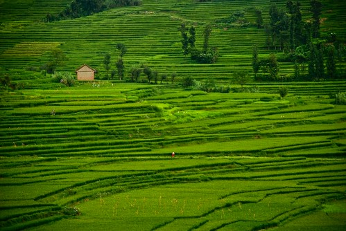trees nepal green lady asia rice paddy hidden oldhouse fields kathmandu picnik outskirts kirtipur newari terracefarming khokana dreamshot koppan fr2fb
