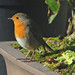 Robin, Erithacus rubecula, on a Bonsai Tree Pot