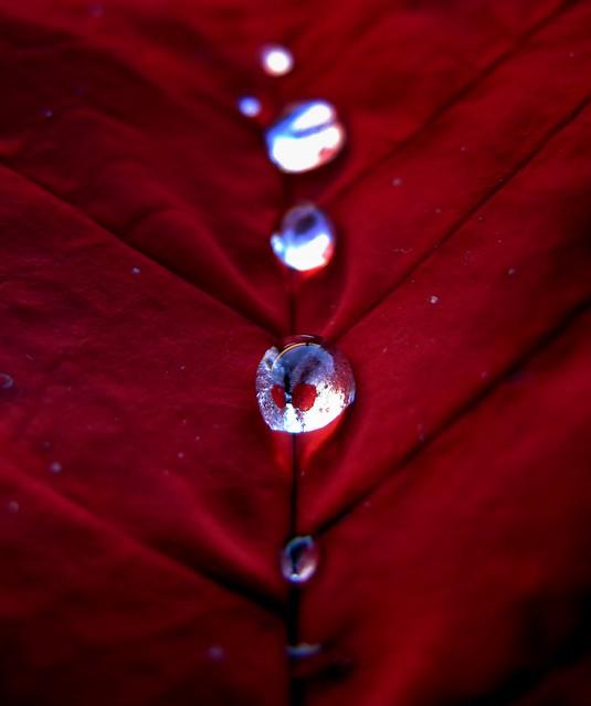 Poinsettia Water Drops